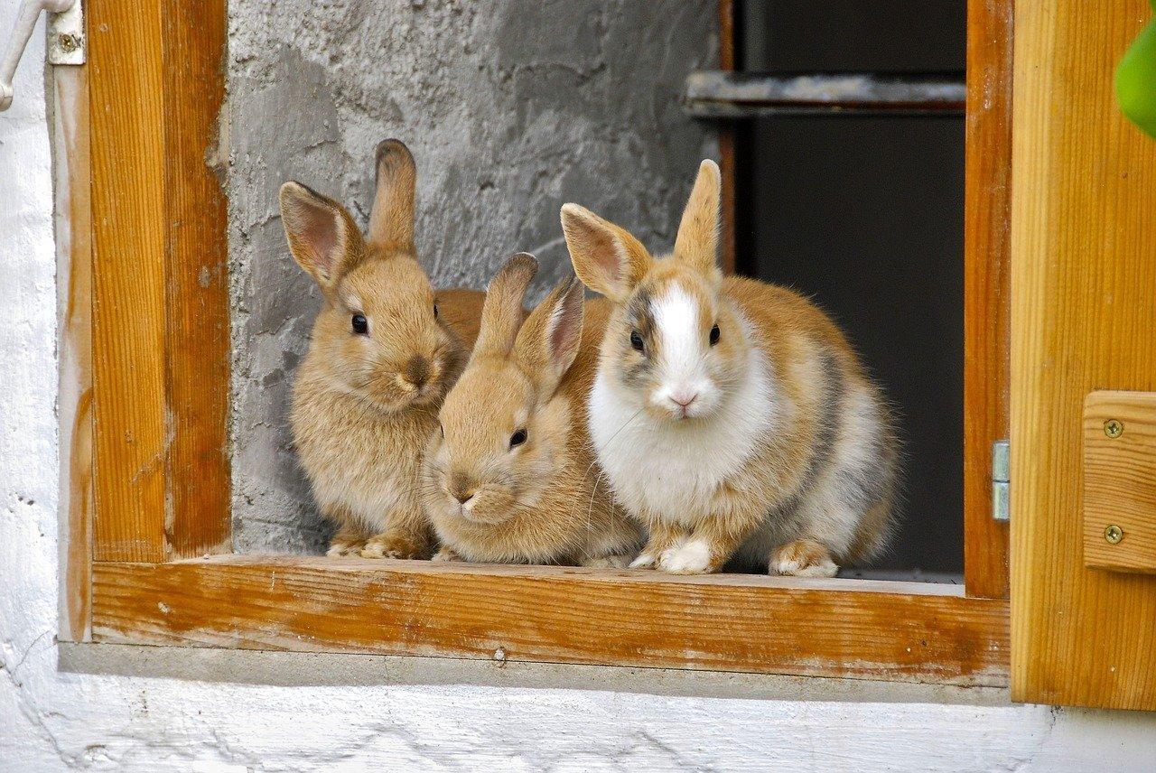 rabbit, farm, window