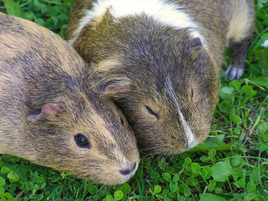 guinea-pig, female, two