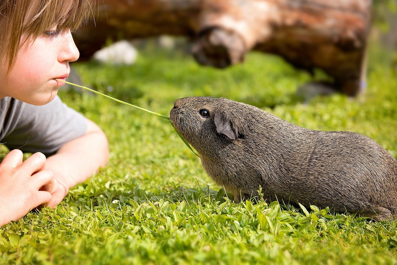 guinea pig, child, blade of grass