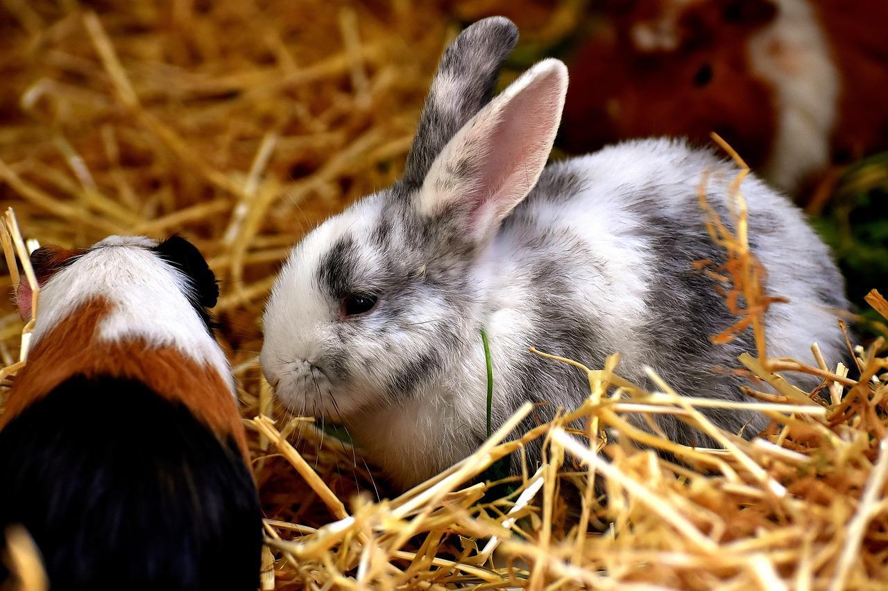 rabbit, guinea pig, animals
